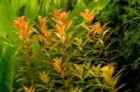 Proserpinaca palustris.