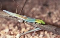 Reptilion Phelsuma klemmeri