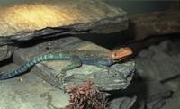 Reptilion Agama agame: Kolonistenagame, moeilijke dieren