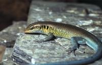 Reptilion Mabuya quinquetaeniata