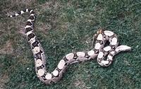 Reptilion Boa constrictor
