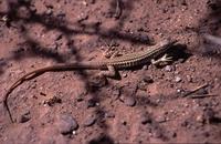 Reptilion Sandlizzard: Pedioplanes spec.