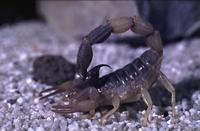 Reptilion Woestijnschorpioen