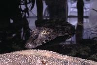 Reptilion Volwassen Yakare kaaiman
