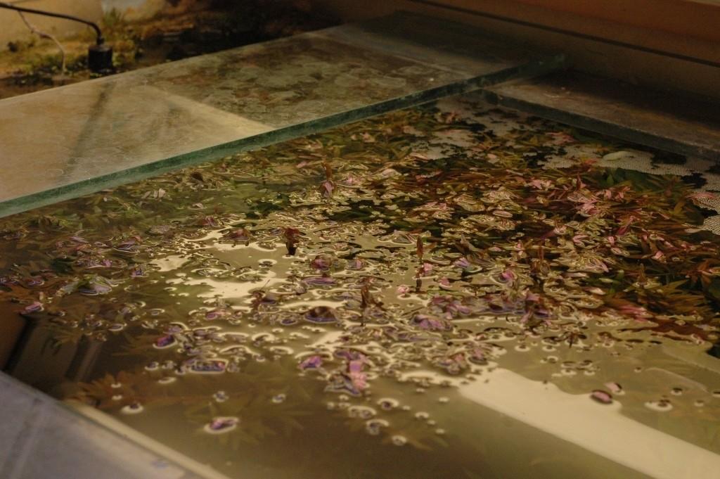 Rotala rotundifolia. Van bovenaf gezien