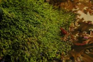 Rotala rotundifolia mooi contrast met Riccia