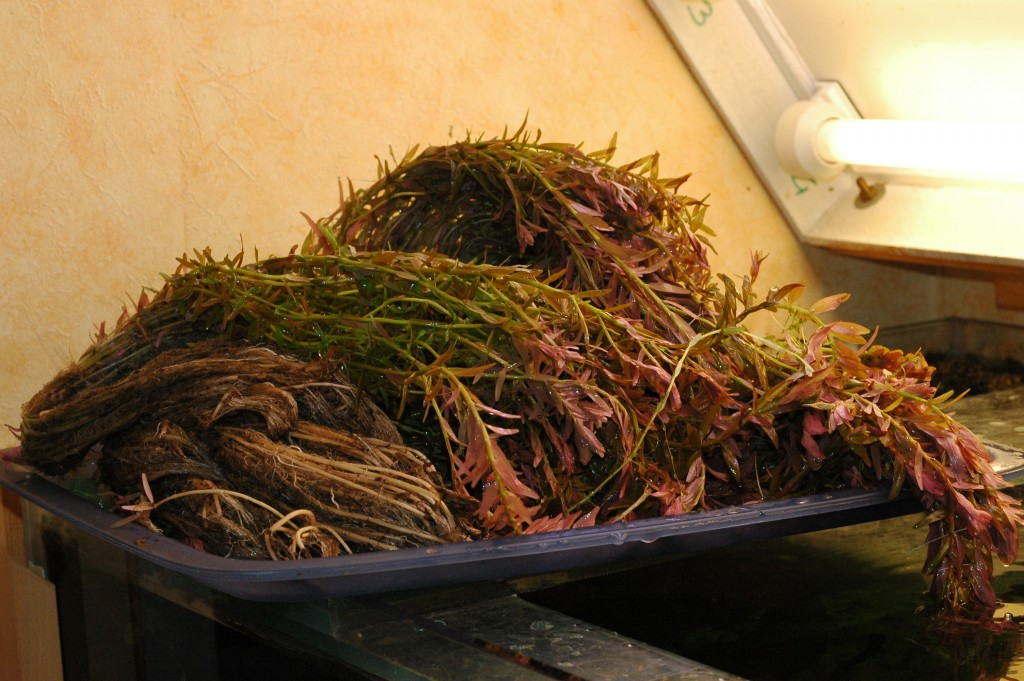 Rotala rotundifolia. De oogst een dienblad vol
