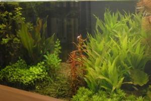 Rotala rotundifolia. Kale plek in het aquarium