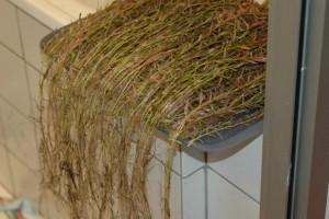 Rotala rotundifolia. De koppen liggen gelijk.