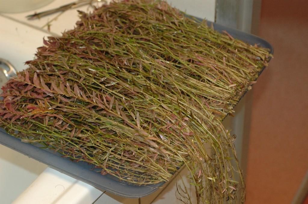 Rotala rotundifolia. Afknippen op gelijke lengte.