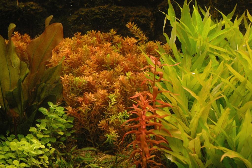 Rotala rotundifolia De volgende dag staan de koppen open.