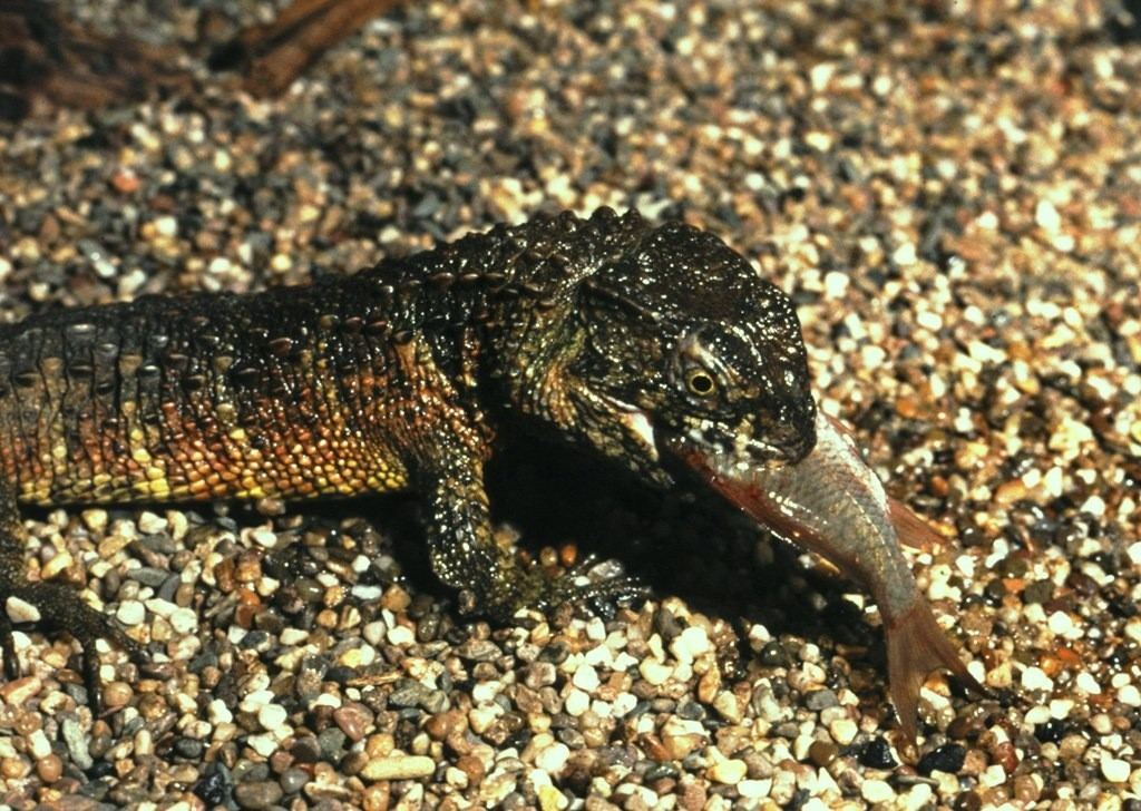 Shinisaurus crocodilurus.