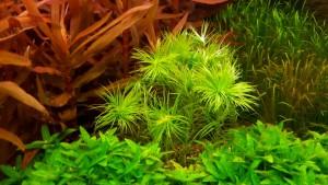 Syngonanthus inundatus 02
