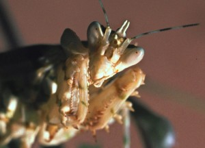 Theopropus elegans Een portret frontaal