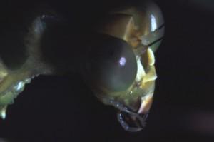 Theopropus elegans Facetogen