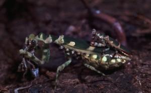 Theopropus elegans Het vrouwtje eet door tijdens de paring