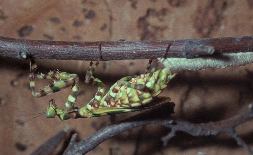 Theopropus elegans Het leggen van de eieren