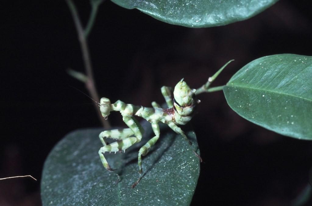 Theopropus elegans Een larf na twee of drie vervellingen