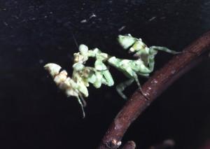 Theopropus elegans De een eet de ander