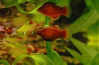 Xiphophorus maculatus 4