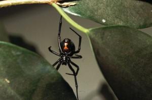 De Zwarte Weduwe (Latrodectus mactans)