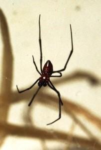 Zwarte weduwe, een mannetje