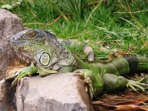 Groene leguaan (foto: Lenie Muller)