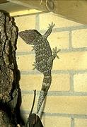 Gekko gecko.
