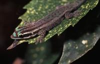 Phelsuma ornata.