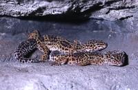De luipaardgekko (Eublepharis macularius).