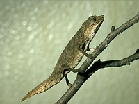 Een dwergkameleon (Brookesia?).