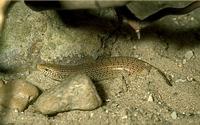 De parelskink (Chalcides ocellatus).