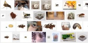 krulvliegen