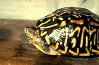 Nog een doosschildpad.