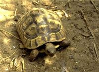 De Griekse landschildpad (Testudo hermanni) is een schildpad uit de familie landschildpadden (Testudinidae).