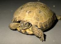 Agrionemys horsfieldii Nederlandse naam: Vierteenschildpad