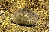 De Moorse landschildpad.