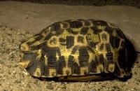 Klepschildpadden.