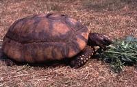 Geochelone denticulata (Geelpootschildpad of woudschildpad).