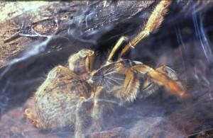 Pt. murinus in het woonweb