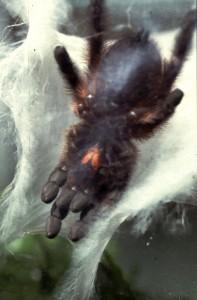 woonweb van een Avicularia