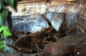 Een Goliath vogelspin kort voor de start van de vervelling op het vervellingsweb
