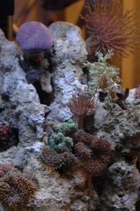 Koralen en anemonen