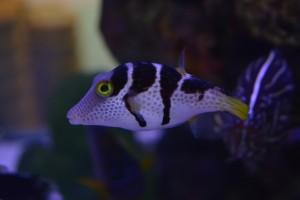 zeewateraquarium Koffervis