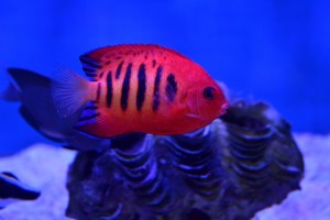 zeewateraquarium Rode keizervis
