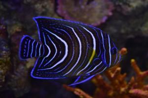 zeewateraquarium Blauwe keizervis
