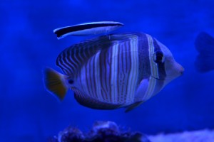 zeewateraquarium Poetsvisje
