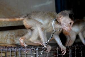 jonge aapjes aan korte kettinkjes aan een kooi vastgehaakt