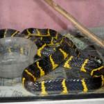een mangrove slang