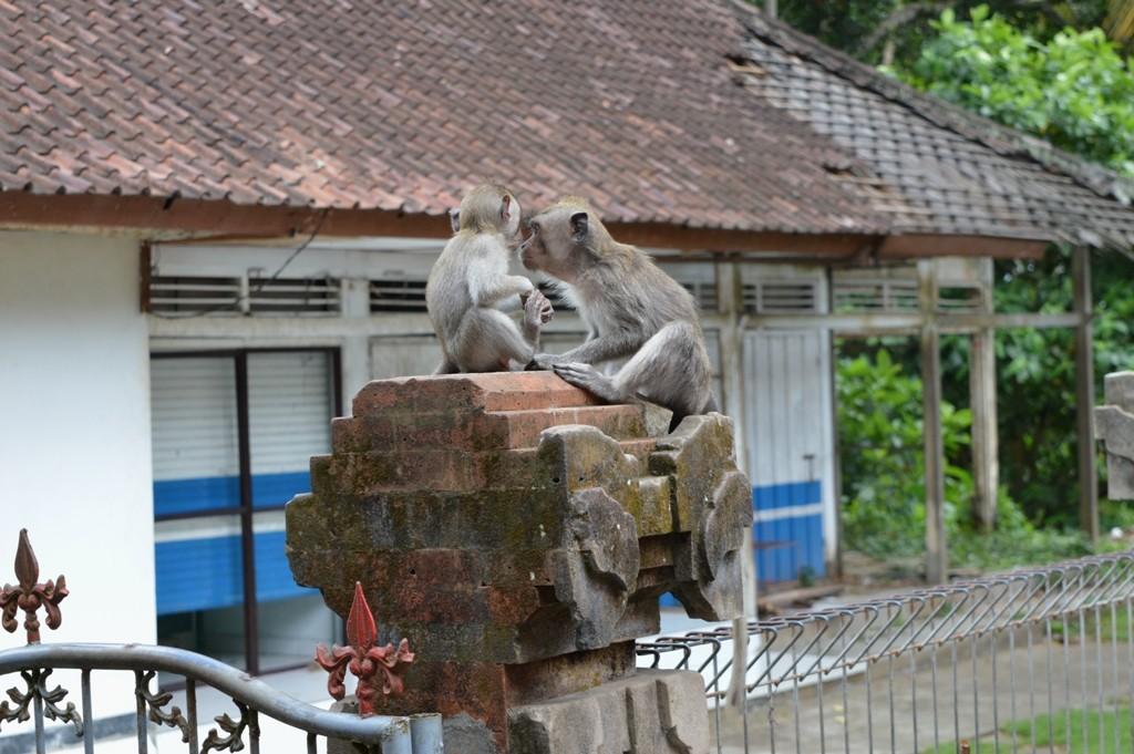 Omdat deze makaken echte bosdieren zijn blijven ze gewoonlijk in hun territorium en dus in het betreffende Monkey Forest.
